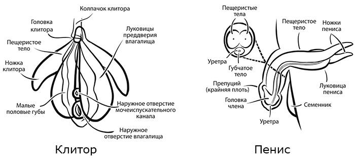 kavernoznie-tela-klitora